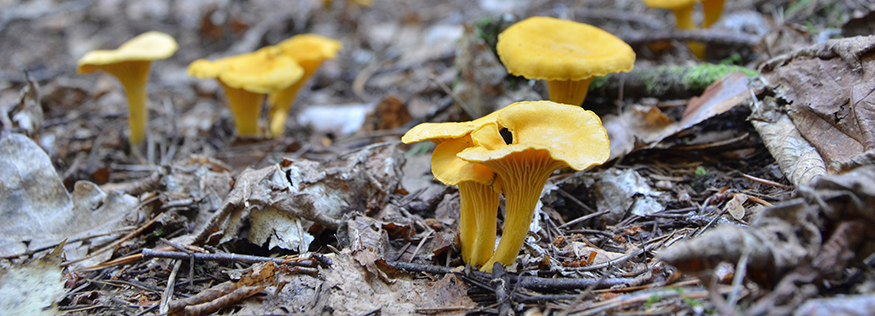 Photo en gros plan de chanterelles sur le tapis forestier.